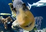 Shedd-Aquarium-Wild-Reef-dive