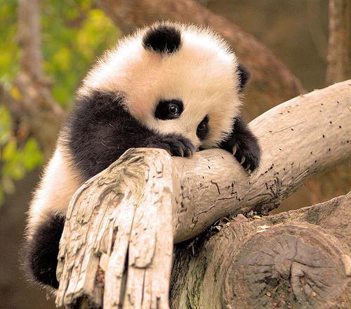 Go, MAPH student - I mean panda - go!