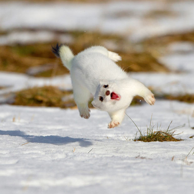 happy-jumping-white-stoat