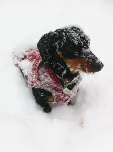 dachshund-in-snow