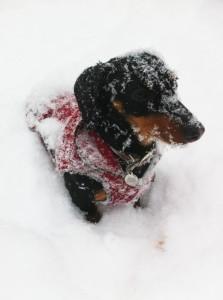 dachshund-in-snow