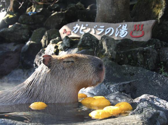 capybara-citrus-11