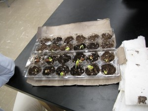 Some of the beans planted by the CKP-led winter quarter garden club.