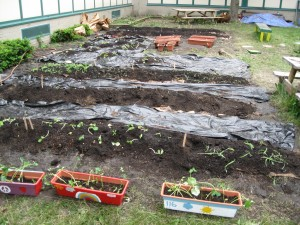 Here is the garden viewed from the east.  In the foreground are beans and squash planted by the fifth graders in coordination with their unit on Native Americans.