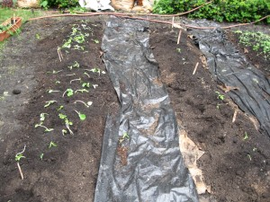 The beds have a layer of paper beneath them to kill weeds, just as the walkways have the plastic to discourage grass from creeping into the healthy organic compost we used for the beds.