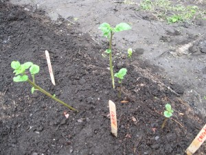 The students grew these potato plants from chunks of potato in their science classroom.