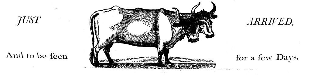 just-arrived-cow-WEB